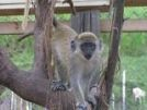 St Kitts and Nevis Green Vervet Monkey