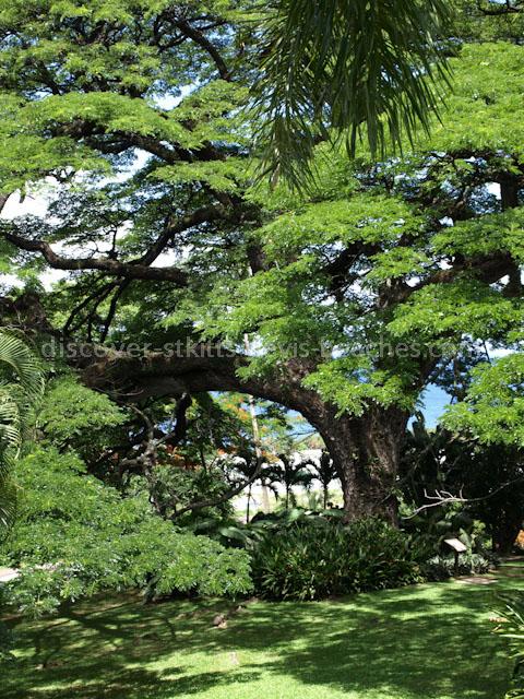 Saman Tree
