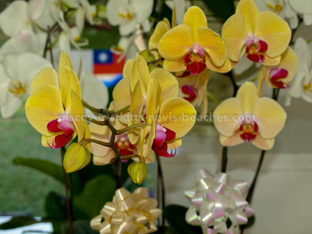 Yellow Butterfly Orchids