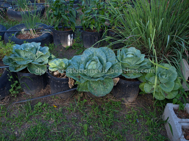 Cabbages growing in flower pots