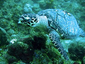 St Kitts scuba diving photo Hawksbill Turtle