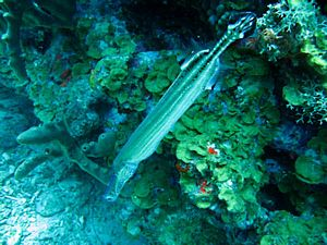 St Kitts scuba diving photo Trumpet Fish