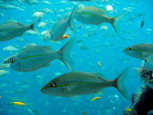 St Kitts scuba diving photo Yellowtail Snapper