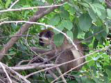 St Kitts beaches- vervet green monkey in trees near Friars Bay salt pond