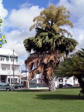 St Kitts heritage sites photos - Talipot palm tree in full bloom in Independence Square in downtown Basseterre St Kitts