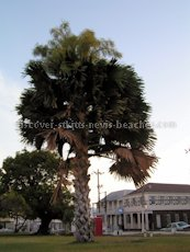 St Kitts heritage sites photos - Talipot palm tree in bloom in Independence Square in downtown Basseterre St Kitts
