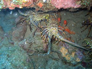 St Kitts scuba diving photo Spiney Lobster